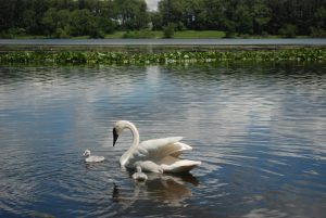 Trumpeter Swan with cygnets on Wintergreen Lake