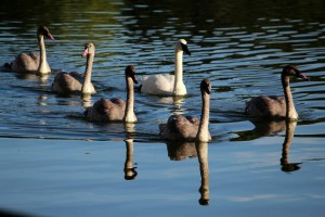Trumpeter Swan family on water credit Tiffany Greenfield