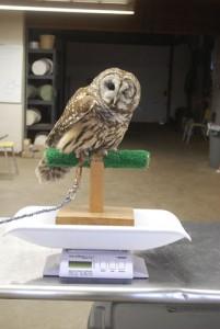 Owl training in progress