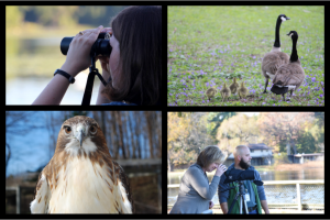 Using binoculars, Canada Goose family, Using a scope, and a Red-tailed Hawk