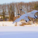 Pair of Trumpeter Swan flying over snowcovered Wintergreen Lake