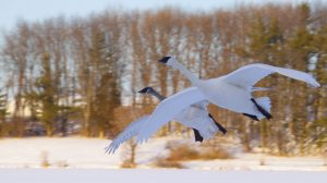 Trumpeter Swans Flying