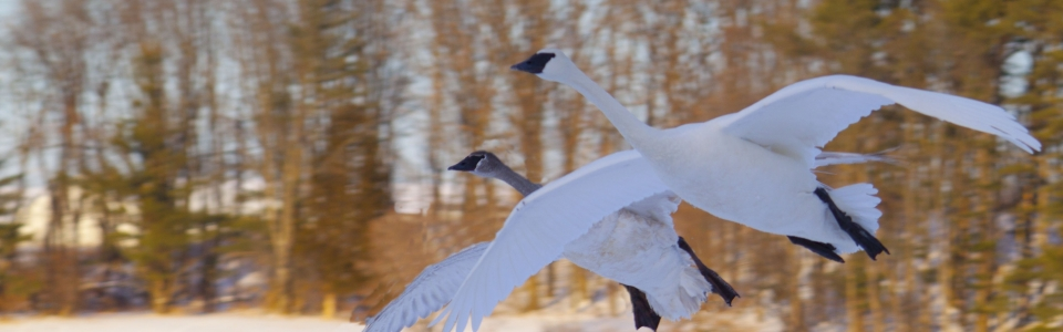 Trumpeter Swans flying with snow on the ground
