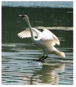 Trumpeter Swan Landing on Wintergreen Lake