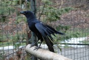 Caring for Crows