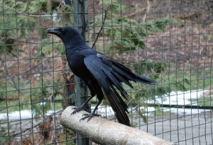American Crow MigwIn at the Kellogg Bird Sanctuary