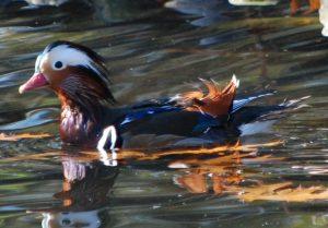Male Mandarin Duck in Water