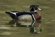 Wood Duck Craze