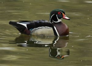 Male Wood Duck in Water