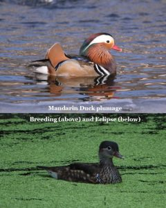Male Mandarin Duck with breeding and eclipse plumage
