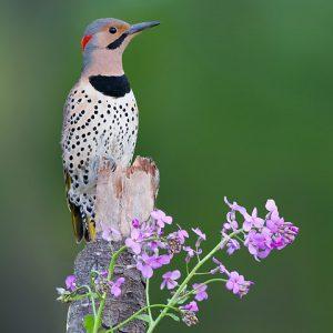 Flicker woodpecker photo credit Josh Haas