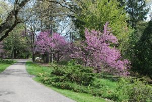 Red buds in bloom along the Sanctuary's trail