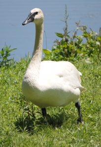 Trumpeter Swan on the shore of Wintergreen Lake at the Kellogg Bird Sanctuary