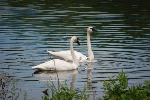 Two Trumpeter Swans on Wintergreen Lake