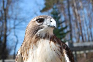 Redtailed hawk at the Sanctuary