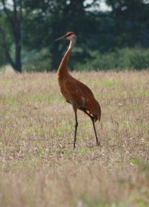 Sandhill Crane in field