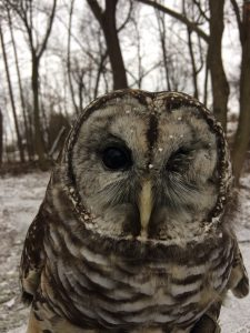 Barred owl at the Sanctuary