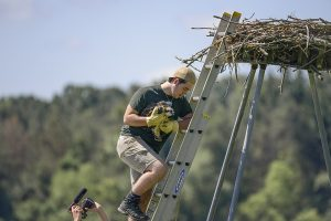 Returning the Osprey to the nest.