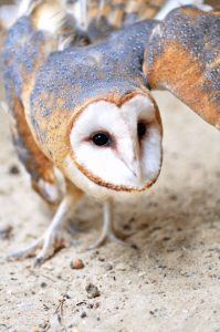 Barn Owl at the Kellogg Bird Sanctuary