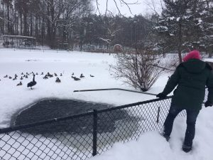 Image of a person holding a long pole for breaking ice in a small display pond with ducks, geese, and swans in the background on a snowy day