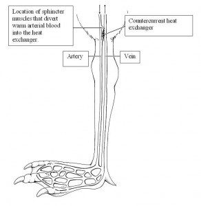 Illustration of the anatomy of a waterfowls arterial and venous system to a foot