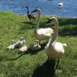 Trumpeter Swan pair with cygnets along shore