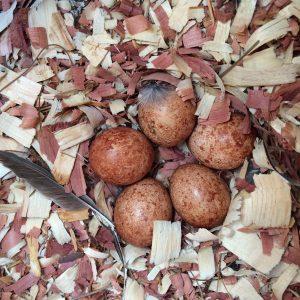 American Kestrel eggs in the nest box.