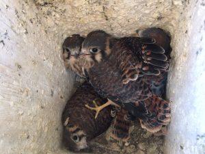 Kestrel chicks all grown up!