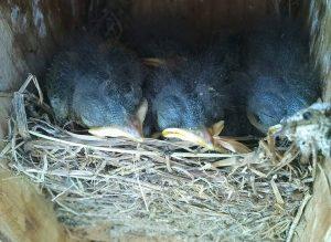 Eastern Bluebird hatchlings