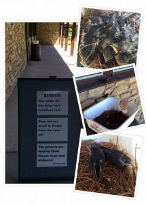 When a Barn Swallow nest fell down, our Animal Care Staff placed it into a bin and the parents came back!