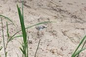 A Piping Plover explores the lakeshore. Photo by Sara DePew-Bäby