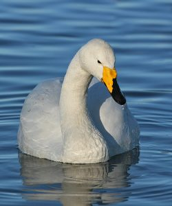 European Whooper Swan swimming.