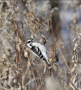 Downy Woodpecker clinging to stalks