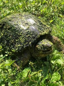 Turtle covered in duckweek emerging from pond