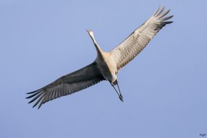 Sandhill Crane flying overhead