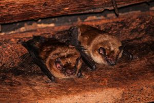 Bats snuggled into a bat house