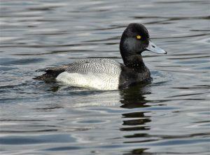 Waterfowl visit Wintergreen Lake during fall migration