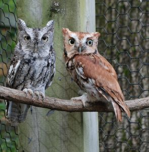 Screech Owls at the Kellogg Bird Sanctuary