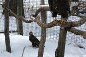2 Bald Eagles at the Kellogg Bird Sanctuary