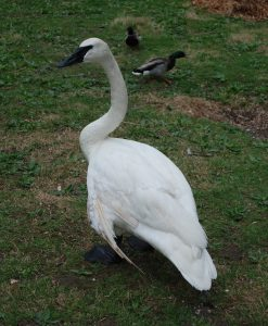 The male Trumpeter Swan at the Kellogg Bird Sanctuary.