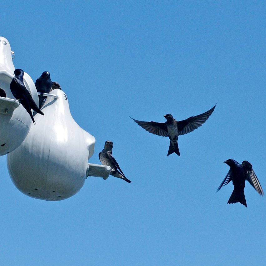 Several purple martins perch and fly near a martin house, against the backdrop of a cloudless, blue sky.