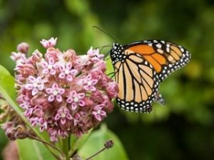 Monarch Butterfly on Common Milkweed flower