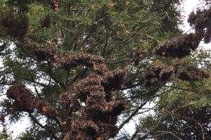 Oyamel Fir Tree with Monarch Butterlies on branches