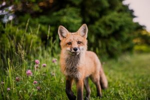 Red Fox in the field Photo by Scott Walsh on Unsplash