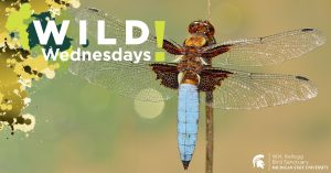 Image of a dragonfly for Wild Wednesdays! event series