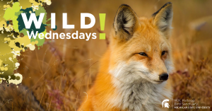 Image of a Red Fox for Wild Wednesdays! event series