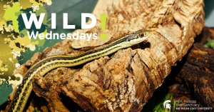 Image of an Eastern Garter Snake for the Wild Wednesdays! event series