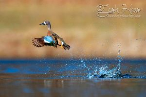 Blue-winged Teal Launching out of water