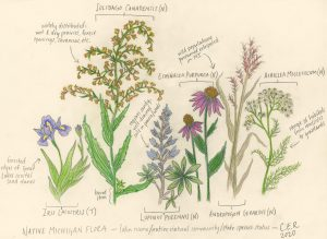Sketch of plants including goldenrod and coneflower