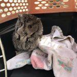 Screech owl in crate